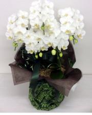 胡蝶蘭 5本立て ホワイト