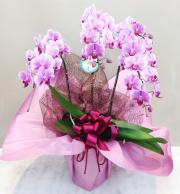 胡蝶蘭 3本立て ピンク